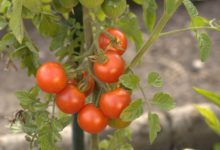 Photo of Tomaten säen – aussäen