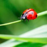 Marienkäfer – Coccinellidae