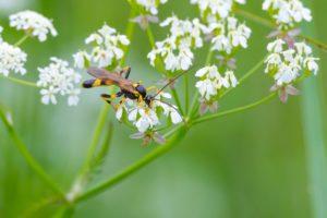 Gelbe Schlupfwespe (Amblyteles armatorius) auf einer Blüte einer Wildwiese
