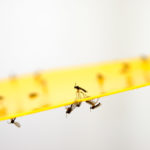 Trauermücken - bradysia paupera